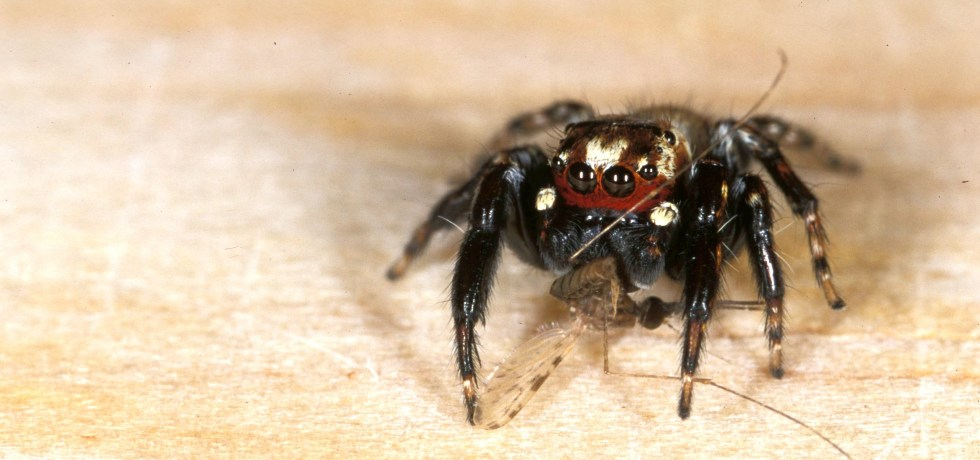 Evarcha culicivora jumping spider capturing a mosquito