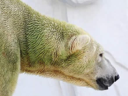 Polar bears with green fur at a zoo in Japan caused by algae growth.