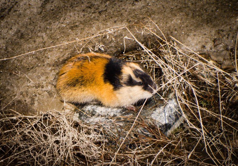 Close-up photo of a lemming (Lemmus lemmus) surrounded by  grasses and rocks in Norway.