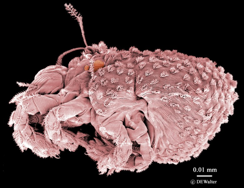 Photograph of a Nanorchestes species mite. Nanorchestes antarcticus is capable of supercooling its body and surviving temperatures below freezing.