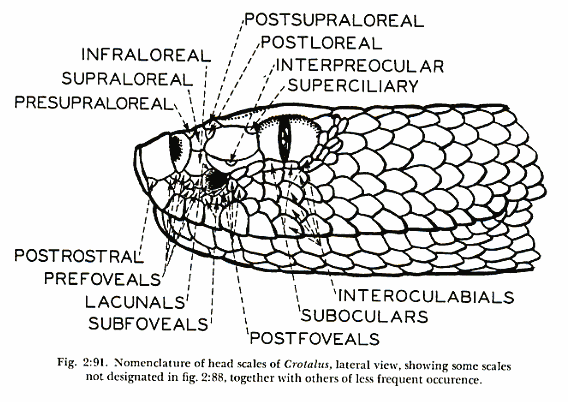Rattlesnake lateral head scale nomenclature diagram