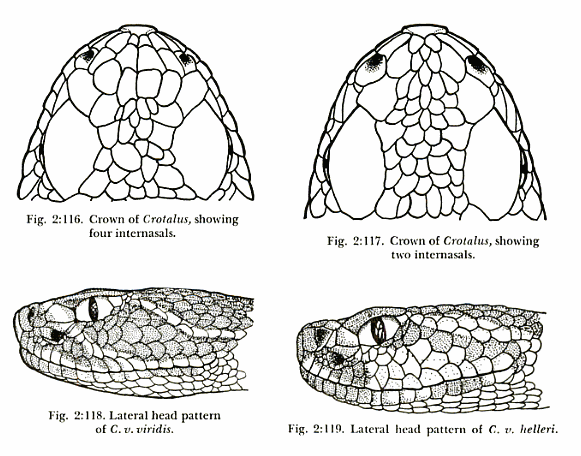 Squamation differences between two very similar rattlesnake species.