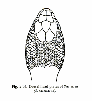 Diagram of the rounded head of a Sistrurus sp snake.