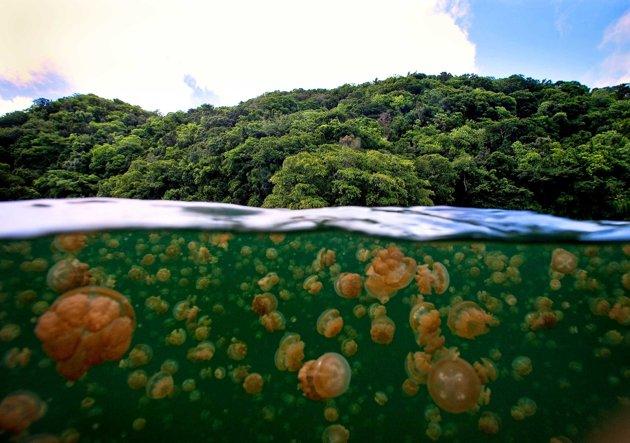 Mastigias papua in Palau. Source: http://goo.gl/T3twX9