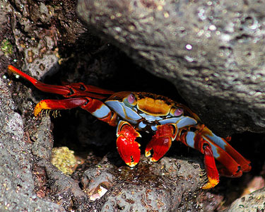 Sally Lightfoot Crab taking cover among the rocks in the intertidal zone.  Source: http://goo.gl/vZHjZX