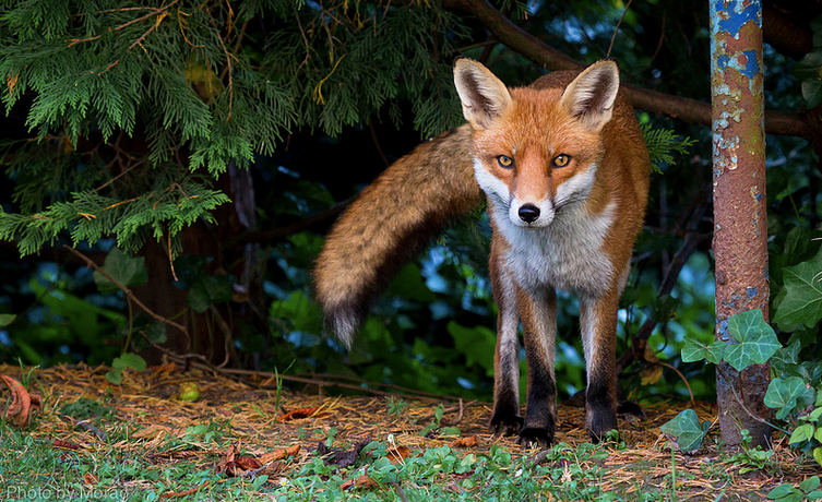 An urban red fox in a garden with bright amber colored eyes stares at the camera surrounded by greenery.