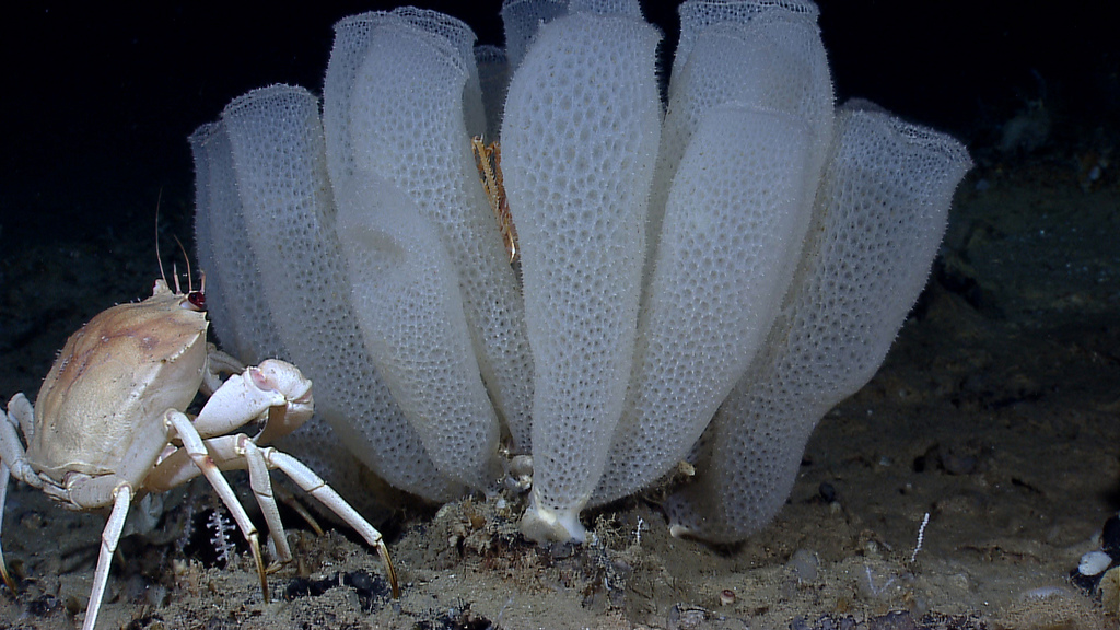 A golden crab (Chaceon fenneri) and Venus flower basket glass sponges (Euplectella aspergillum)