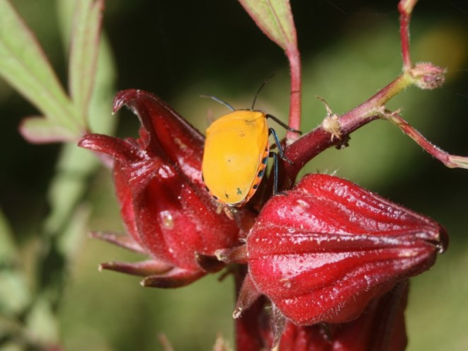 A predominantly orange Tectocoris diophthalmus.  Photo: Malcolm Tattersall (http://goo.gl/mhrG6l)