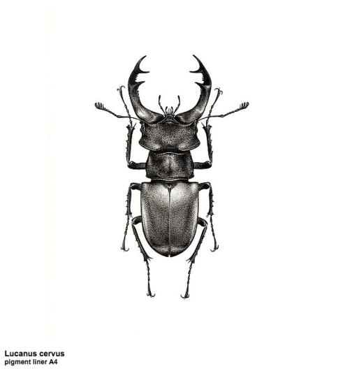Lucanus cervus illustration by Carim Nahaboo