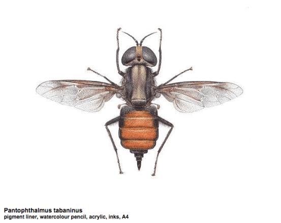 Pantophthalmus tabaninus illustration by Carim Nahaboo