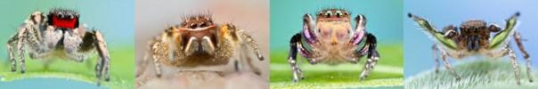 Left to right: H. coecatus, H mustaciata, H. hallani, H. calcaratus. (Images: Colin Hutton - http://www.colinhuttonphotography.com/spiders)