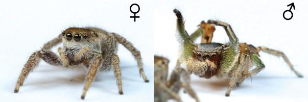 Habronattus pyrrithrix female and male. Photo: Danel Zurek (http://goo.gl/ZzCZt1)
