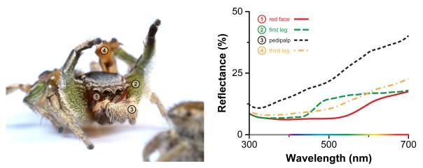 Habronattus pyrrithrix jumping spider color vision. Photo: Danel Zurek (http://goo.gl/ZzCZt1)