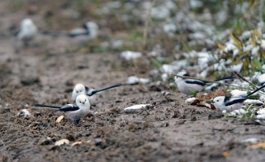 Aegithalos caudatus, long-tailed tits on the ground