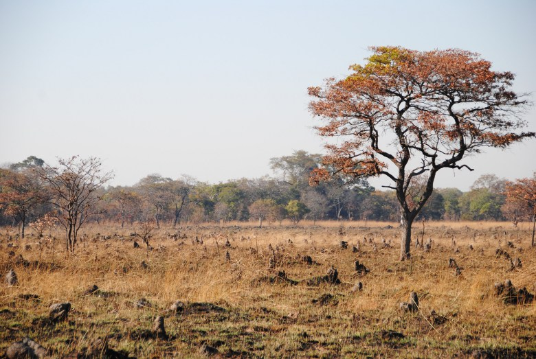 A field in Zambia is covered in termite mounds popping up out of the grass.
