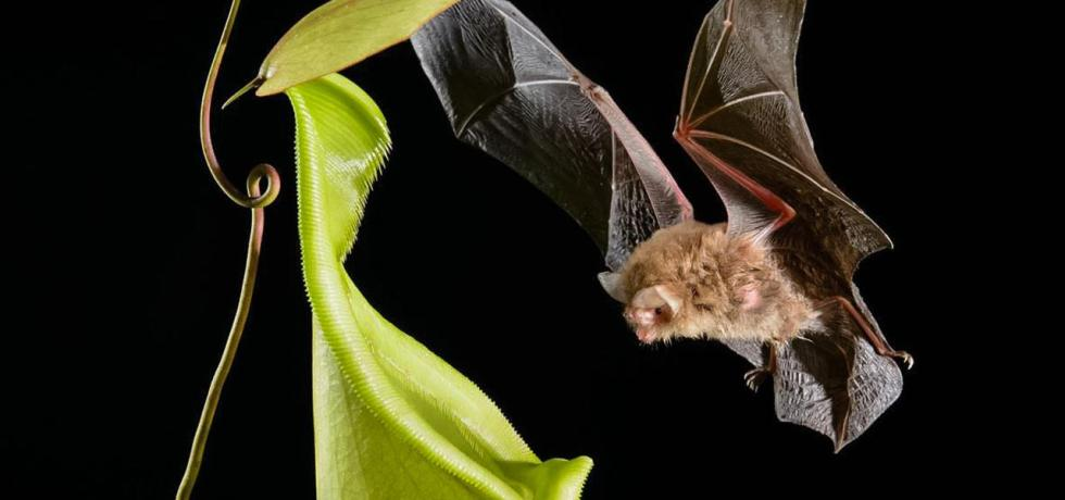Photograph of a wooly bat flying toward a pitcher plant