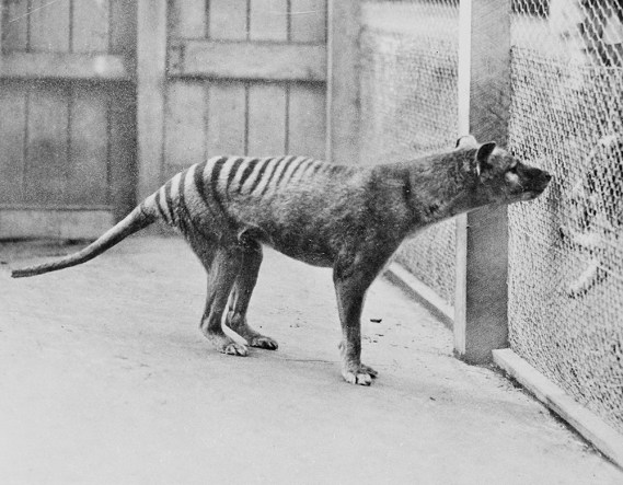 The last known thylacine in the Hobart Zoo in 1933