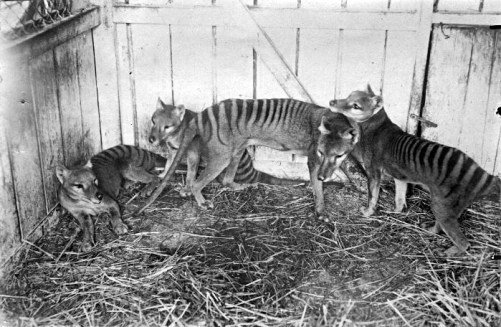 Thylacines at the Hobart Zoo in 1910