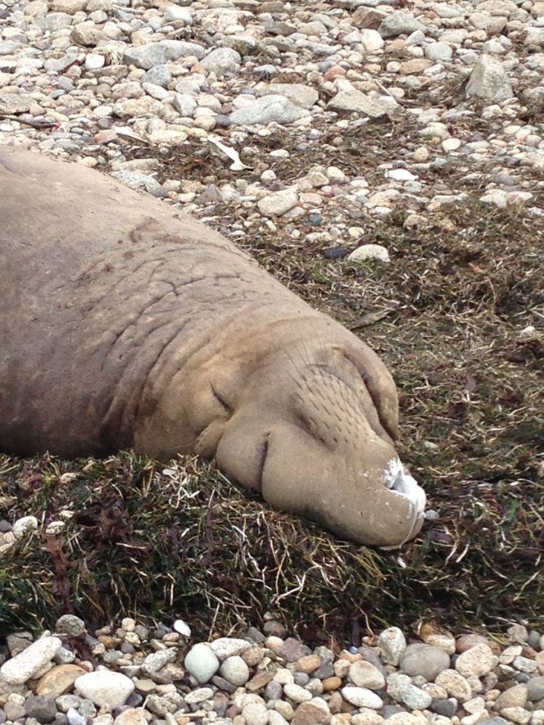 A sleeping male elephant seal on the rocks with with pulmonary surfactant on its nose