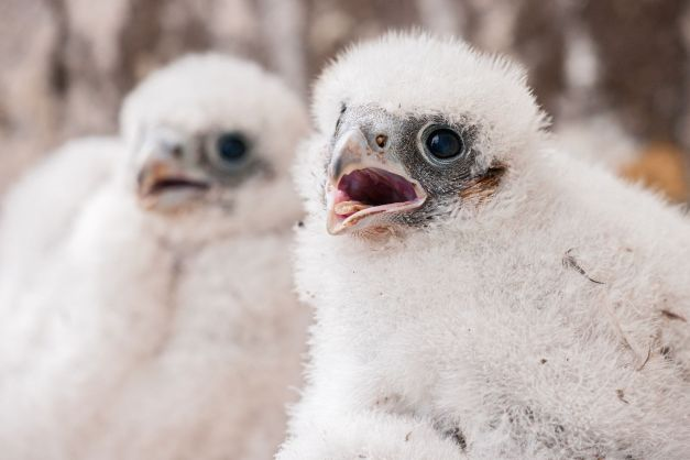 Young peregrine falcons in a nest