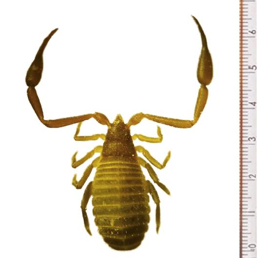 Chelifer cancroides pseudoscorpion female scientific specimen photograph.