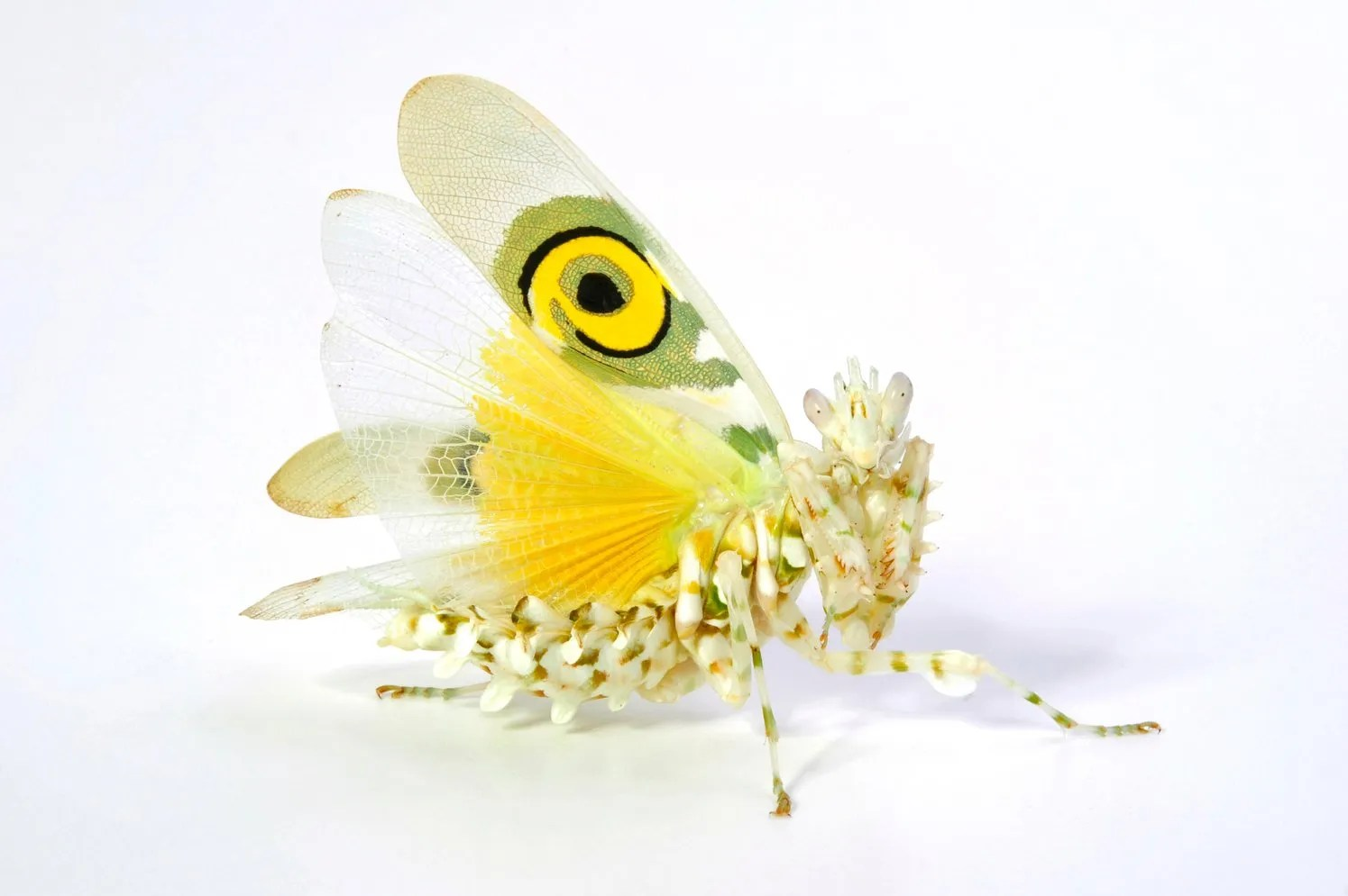 Spiny flower mantis (Pseudocreobotra wahlbergii) in a threat display