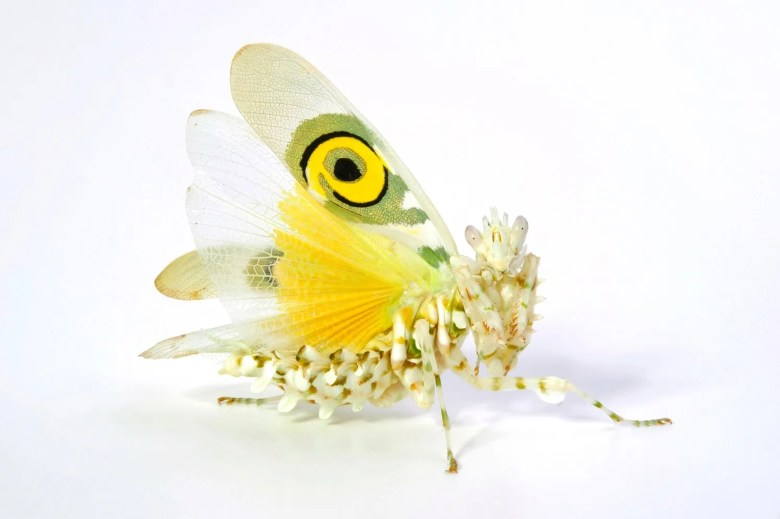A white and yellow colored spiny flower mantis (Pseudocreobotra wahlbergii) posed in a threat display