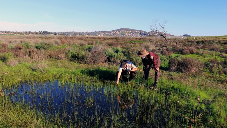 Park ranger and biologist look for endangered fairy shrimp in a vernal pool near San Diego.