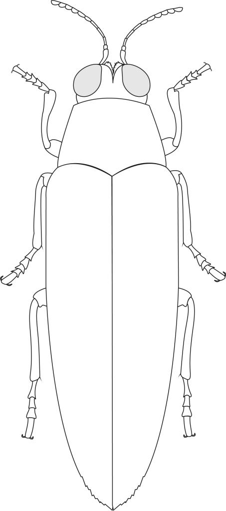 Creative Commons illustration of Chrysochroa fulminans anatomy with elytra closed.