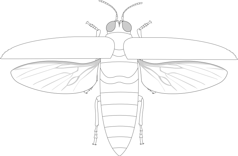 Creative Commons illustration of Chrysochroa fulminans anatomy with elytra open and wings exposed