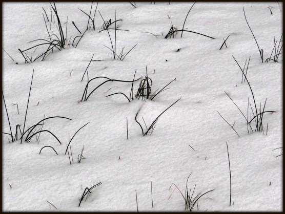 Wild Onions in the Snow