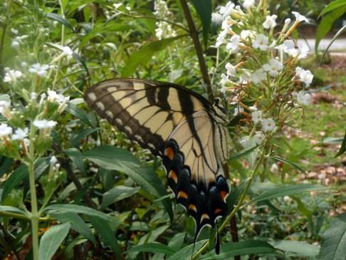 Tiger swallowtail butterfly.  Photographed June 2011 at Newman Wetlands Center, Hampton, GA.
