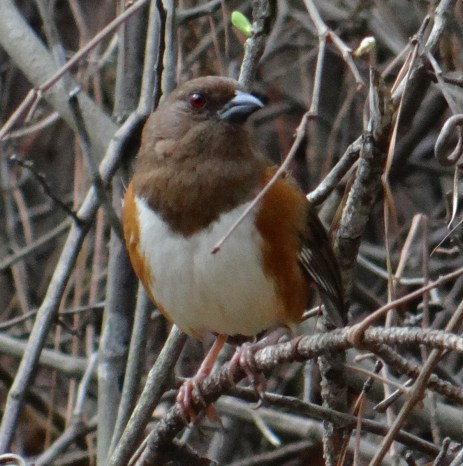 April 4 Eastern Towhee Day 94