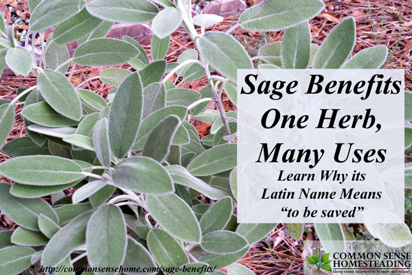 Sage Benefits - One Herb Many Uses