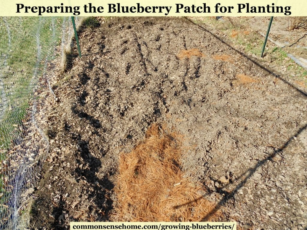 preparing blueberry soil in blueberry patch, tilling in pine needles