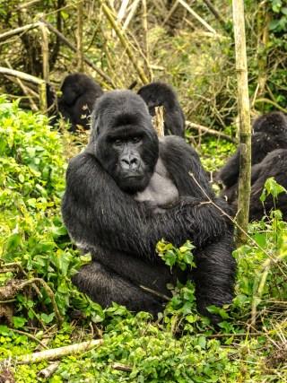 Rwanda Giants Club - Family of Silverback Gorillas in Volcanoes National Park, Rwanda sit amongst the trees.