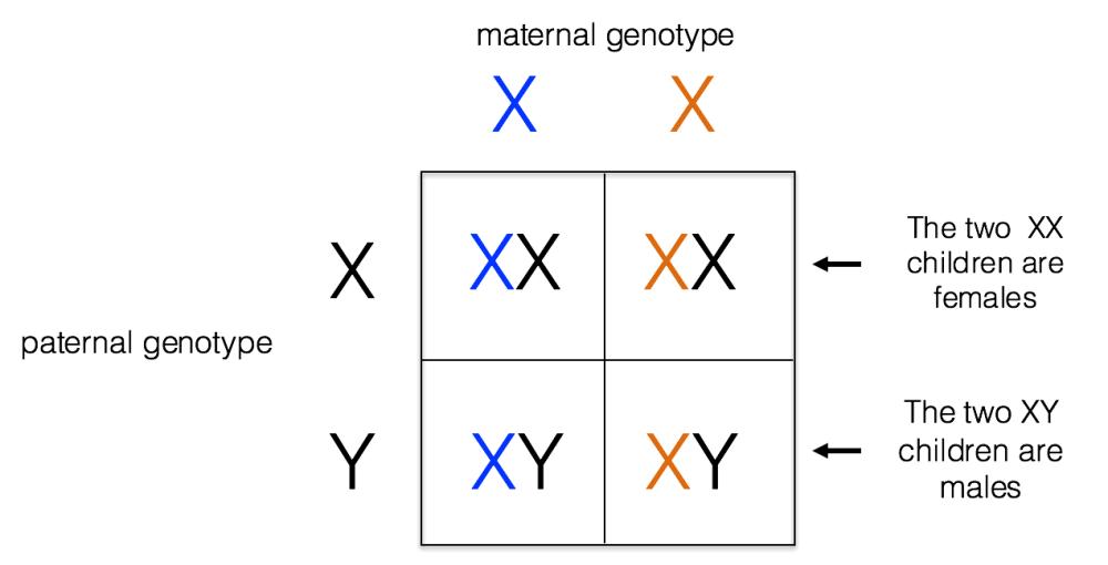 medium resolution of x linked inheritance