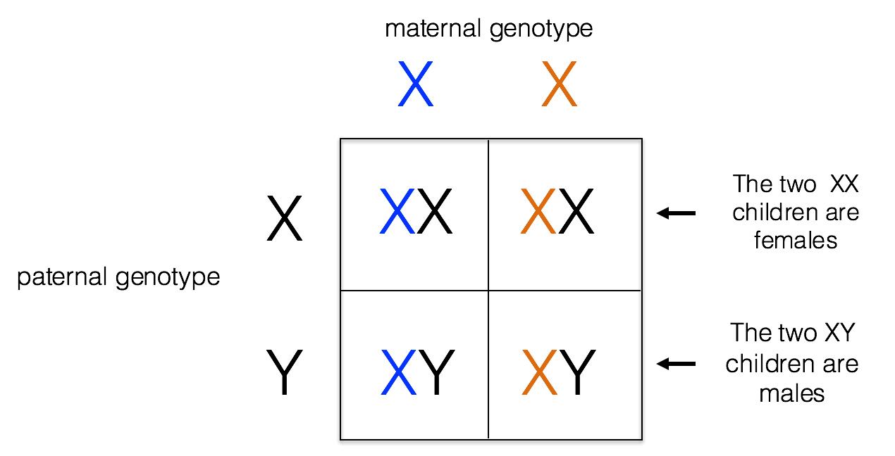 hight resolution of x linked inheritance