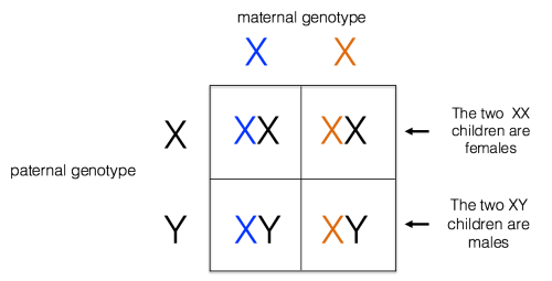 small resolution of x linked inheritance