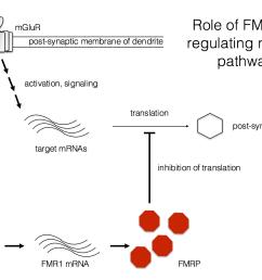 fragile x diagram [ 1342 x 996 Pixel ]