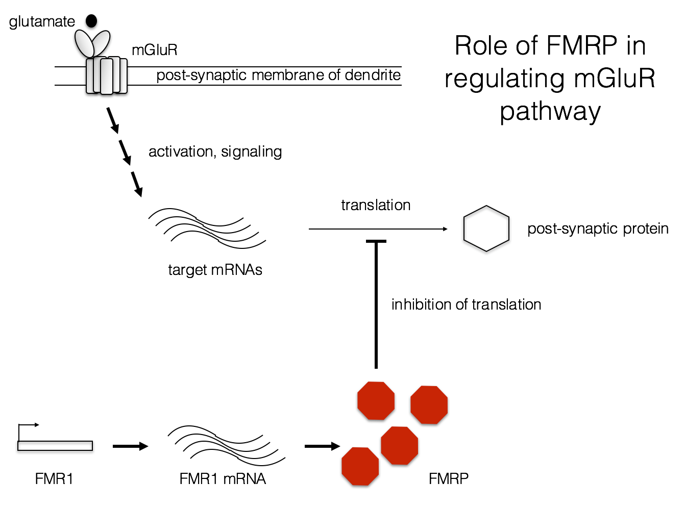hight resolution of fragile x diagram