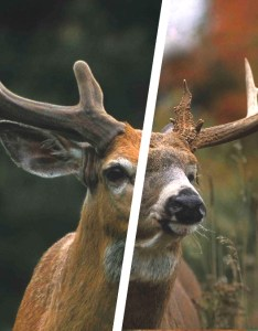 also whitetail deer antler growth process legendary   blog rh community legendarywhitetails