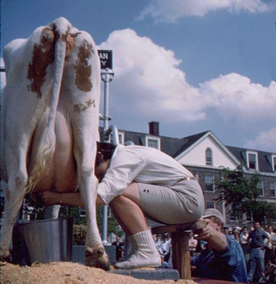 Cow being milked in front of a crows
