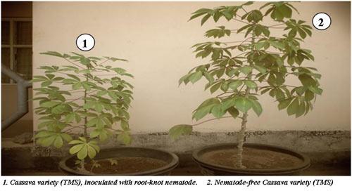 Cassava Variety