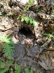 Small hole in the ground surrounded by ferns and decaying leaves