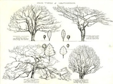 Watts's Four Types of Hawthorns