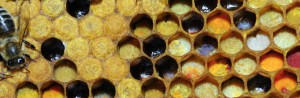 Bee on Honeycomb with Pollen