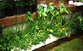 Water gardens would be an additional source of food in the city in adapting to any shortfall of supply. Here, waste foam fruit boxes have been repurposed as water gardens containers to produce edible arrowhead, duck potato, watercress and water celery.