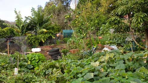 The view over Glovers garden shows the pumpkin and other vegetables, the banana and other fruits that make up this diversified community garden. The structure visible in the middle distance is a shade house, the nursery area where new plants are propagated.