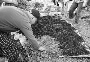 Straw mulch is laid over a layer of compost which has been spread over a weed barrier of newspaper six to ten pages thick and one-third overlapped to mak a no-dig garden. The newspaper is watered with a sprinkler hose, as is the straw mulch as they are laid.